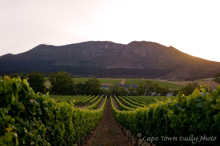 The vines of Constantia