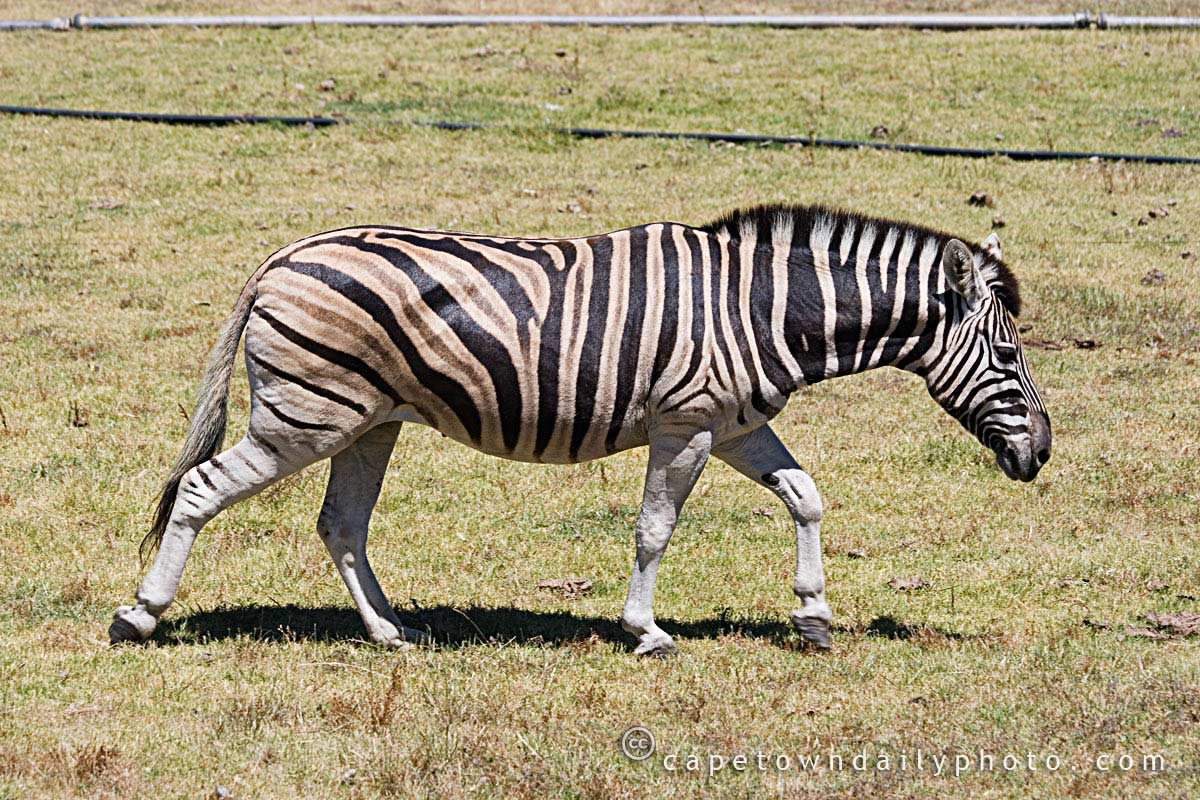 Walking Zebra    Zebra Walking