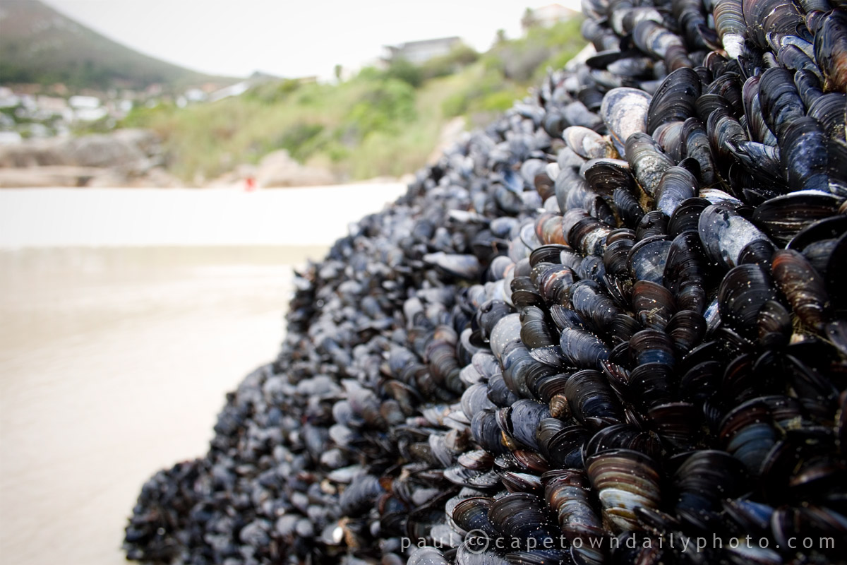 Mussles of the sea