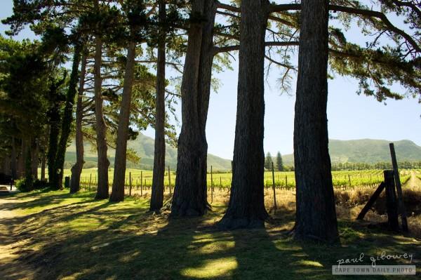 Shady Pine trees