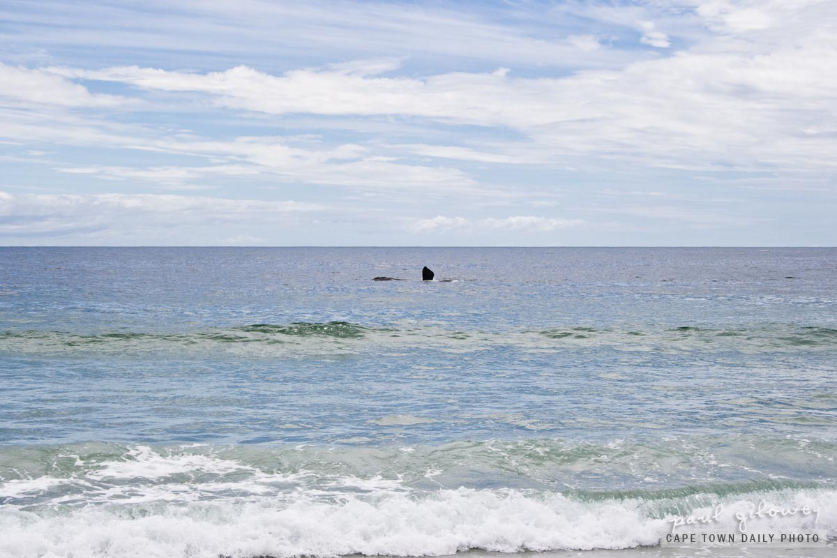 A whale in Camps Bay