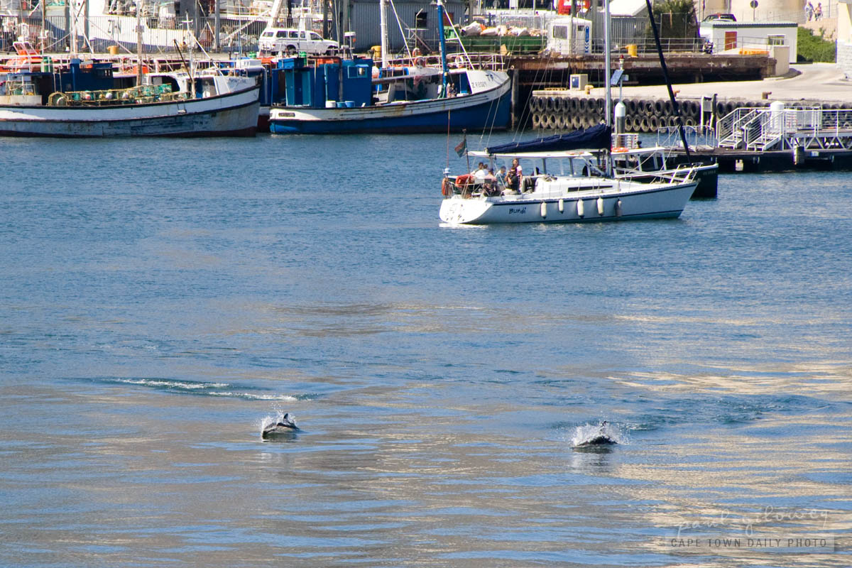 Dolphins swimming at the Waterfront