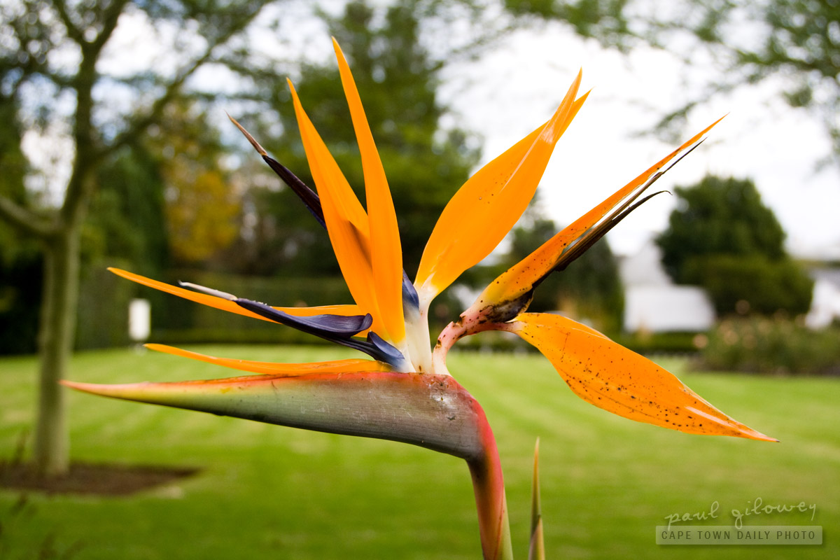 Strelitzia, the bird-flower