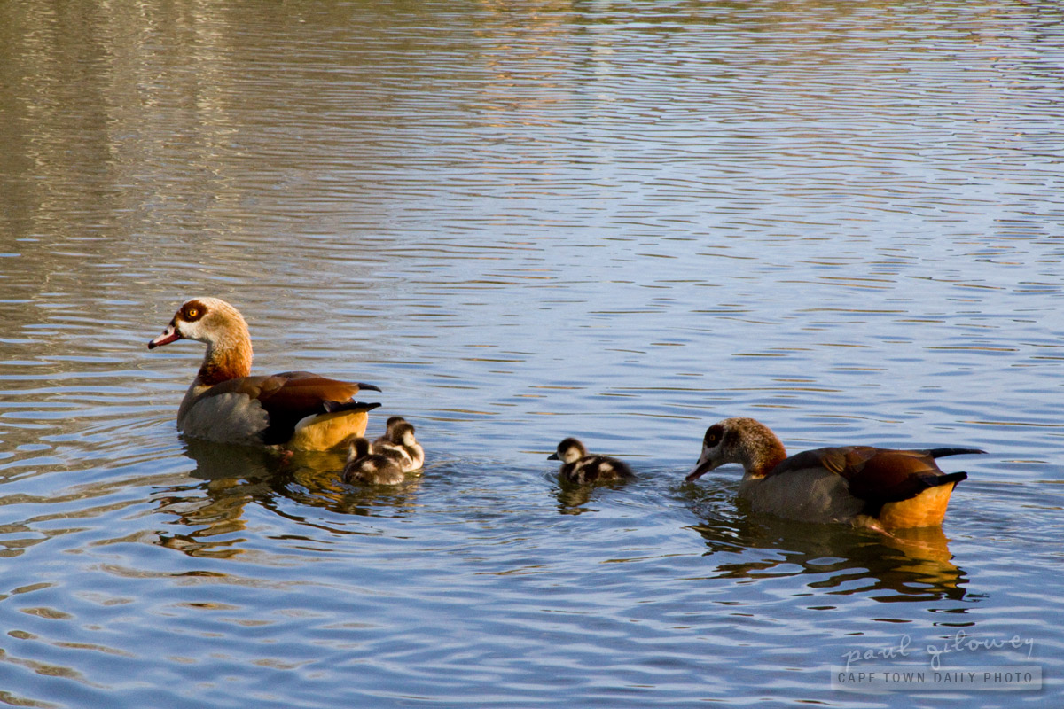 Egyptian geese, a pest?