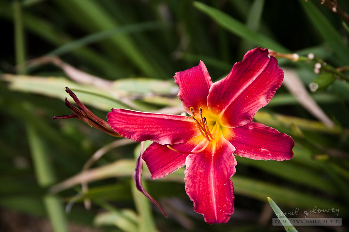 A daylily called Russian Rhapsody