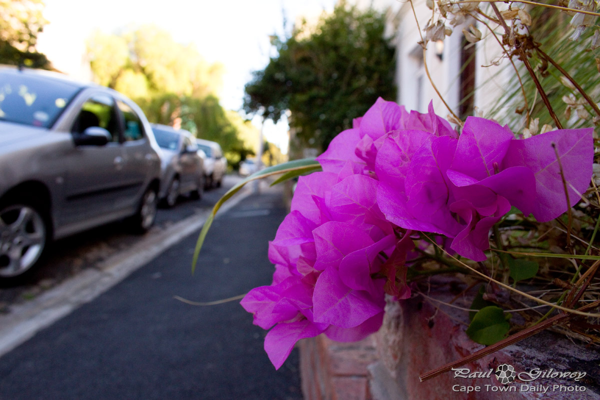 It's Bougainvillea, like panacea