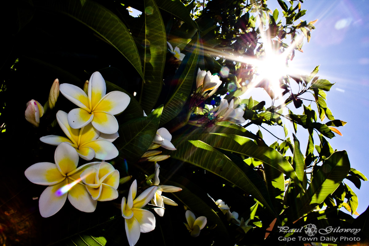 The poisonous Frangipani