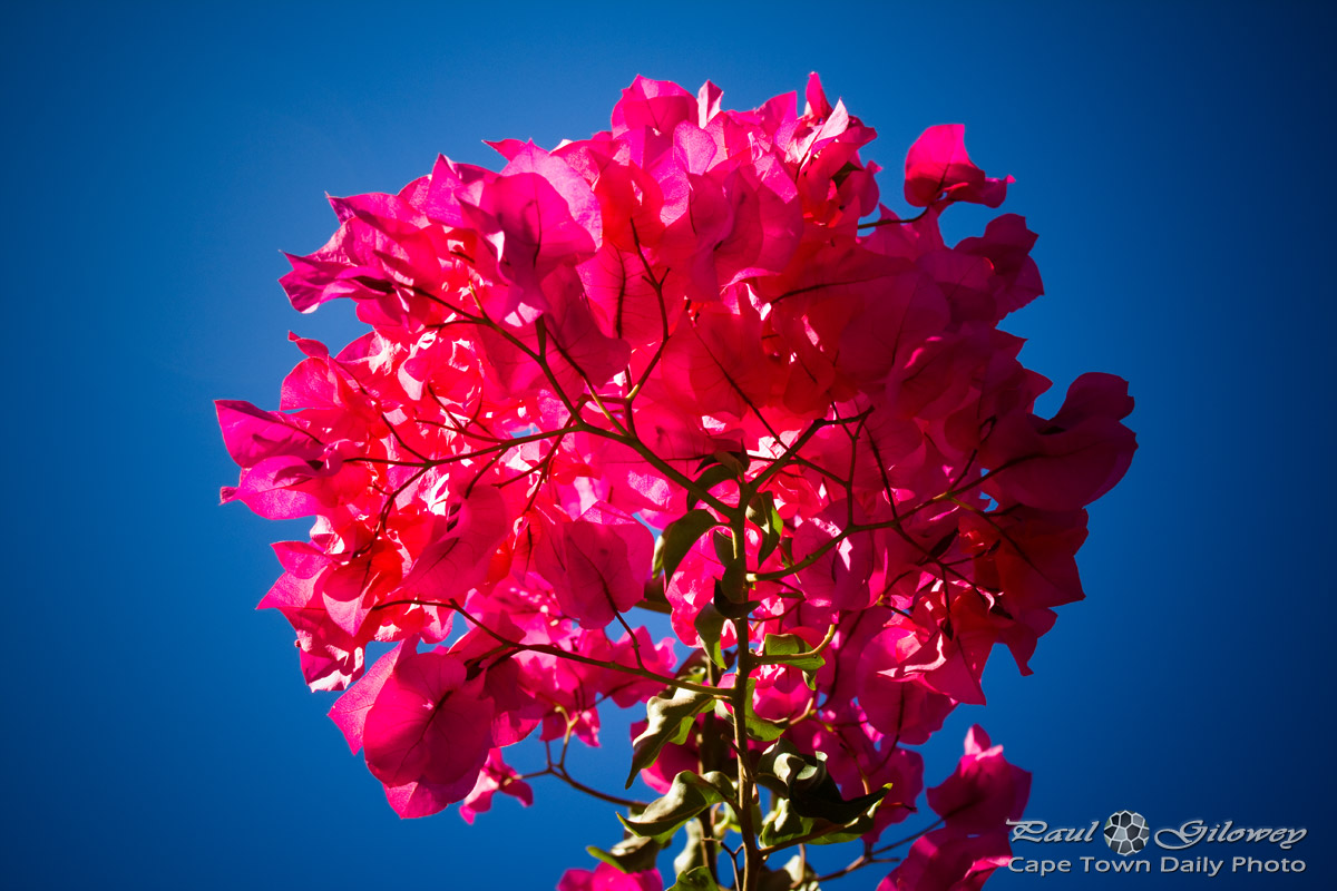 Pretty red bougainvillea