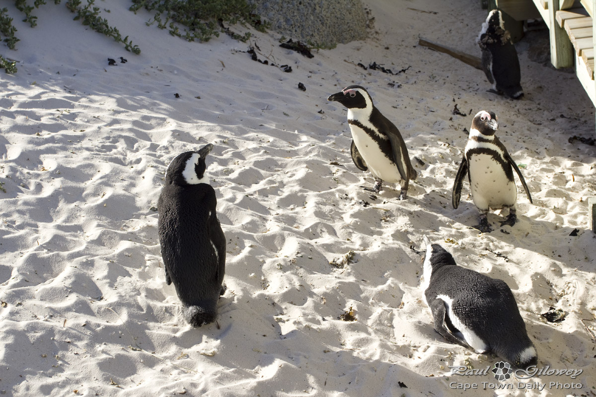 Peninsula trip stop 6: Boulders Penguin Colony