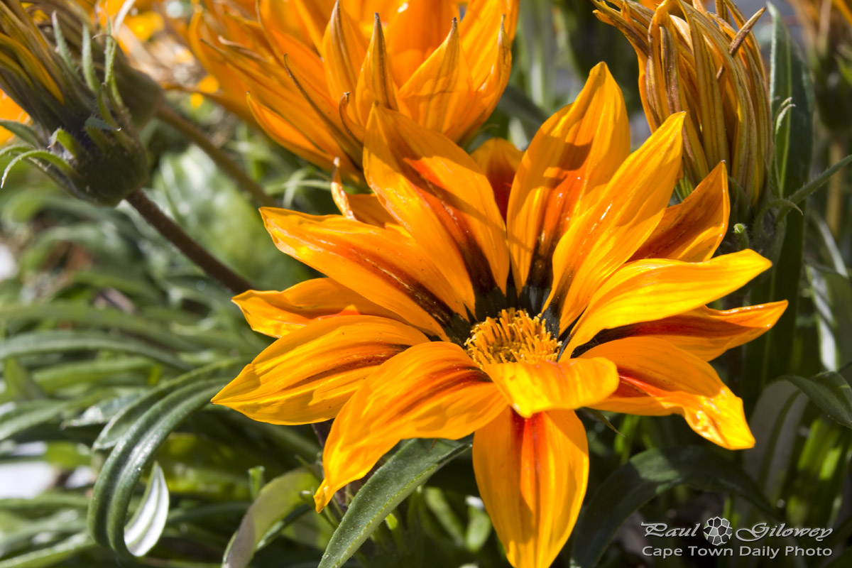 Just another Gazania
