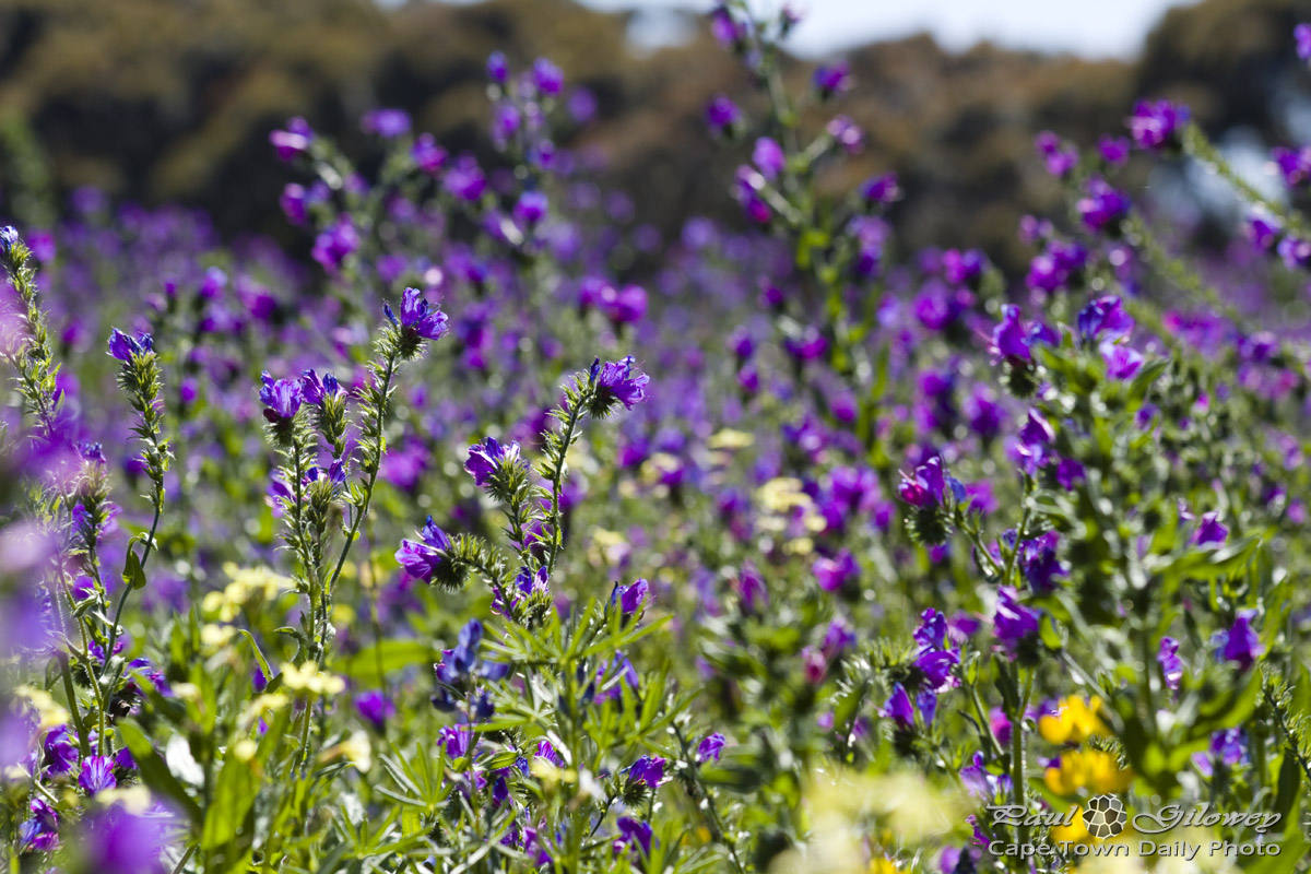 Purple flowers in the wild · «