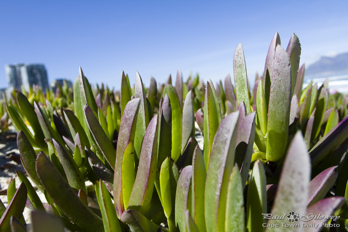Sea-sand succulents