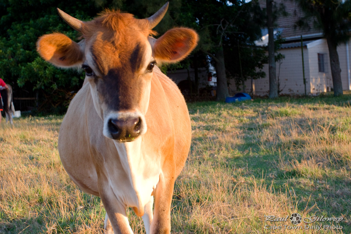 The real brown cow