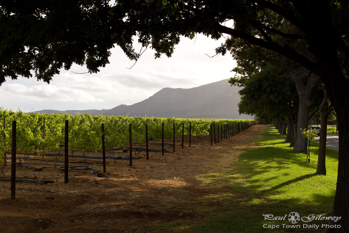 Groot Constantia's vineyards