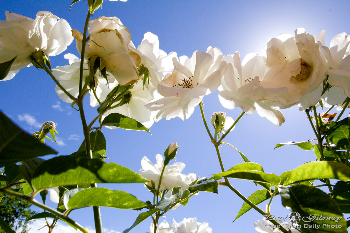 White roses, blue skies, pretty photos