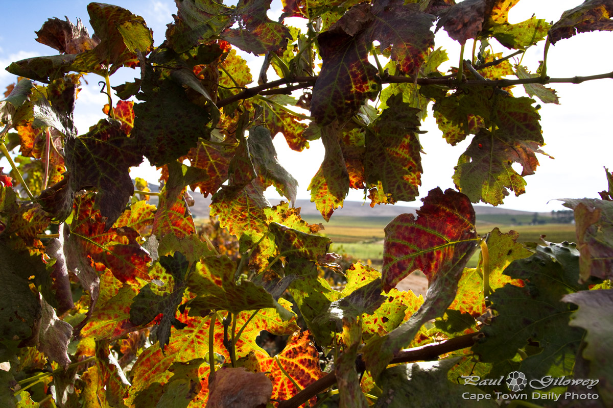 Autumn vine's leaves