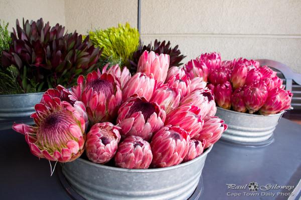 Pretty pink proteas