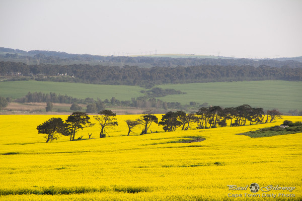 Fields of yellow [canola]