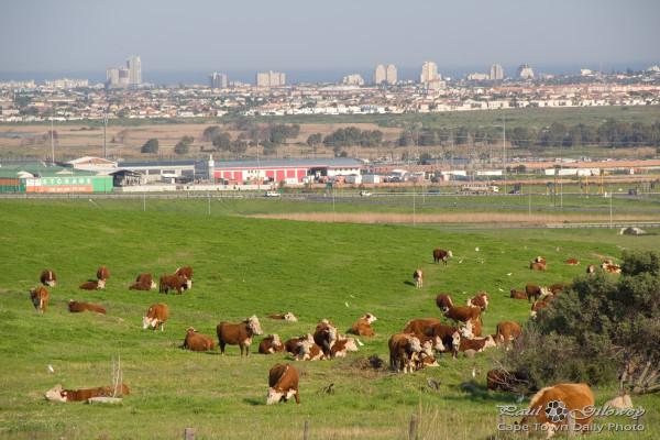 Dozens o' brown moo-cows
