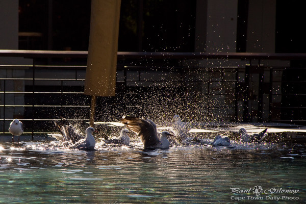 Dancing water splashing gulls