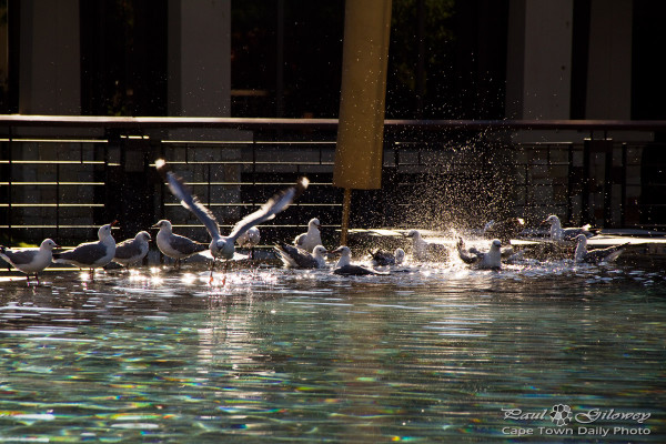 Seagulls splashing in the swimming pool