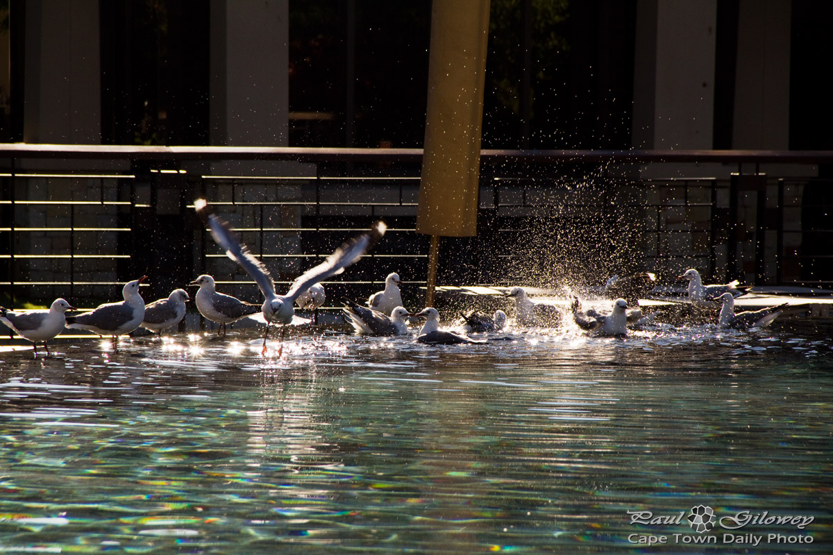 Seagulls splashing in the swimming pool