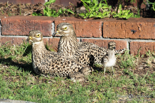 Stone Curlew babies in our garden!