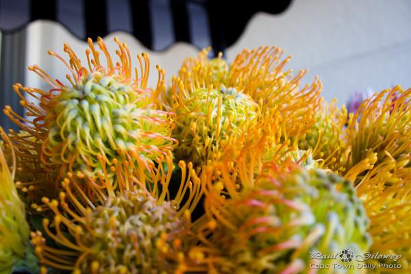 The notable Pincushion Protea