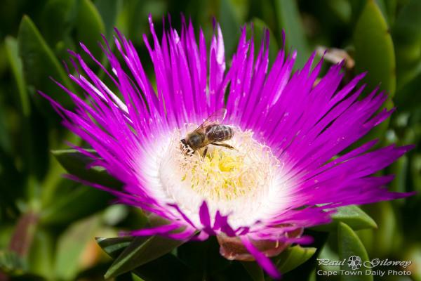 Purple-pollen hunter