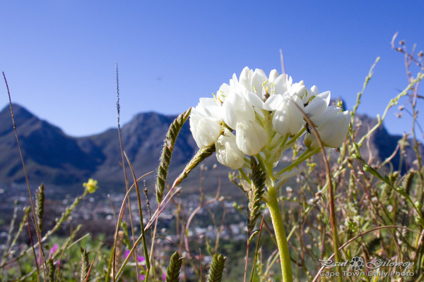 Bridal flora on Signal Hill