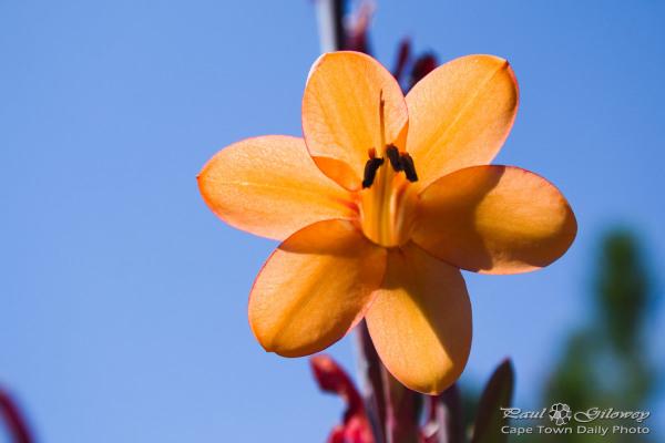 Cape Town Orange