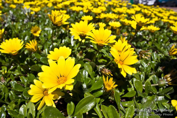 That yellow bed of flowers