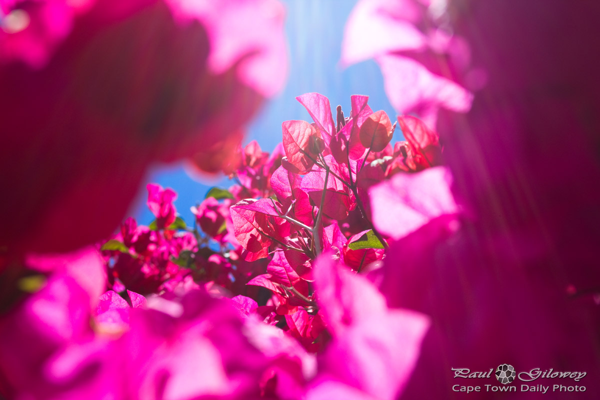 Pink bougainvillea in bloom