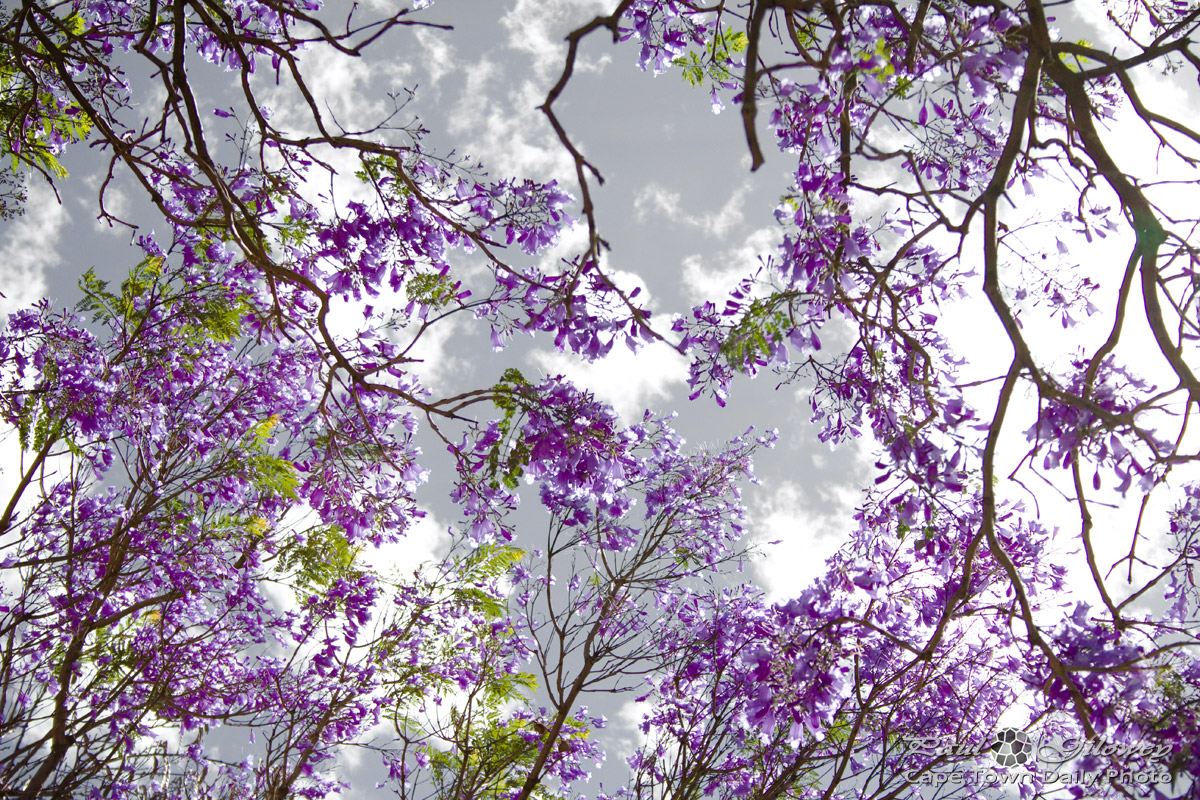 Cape Town's purple Jacaranda trees