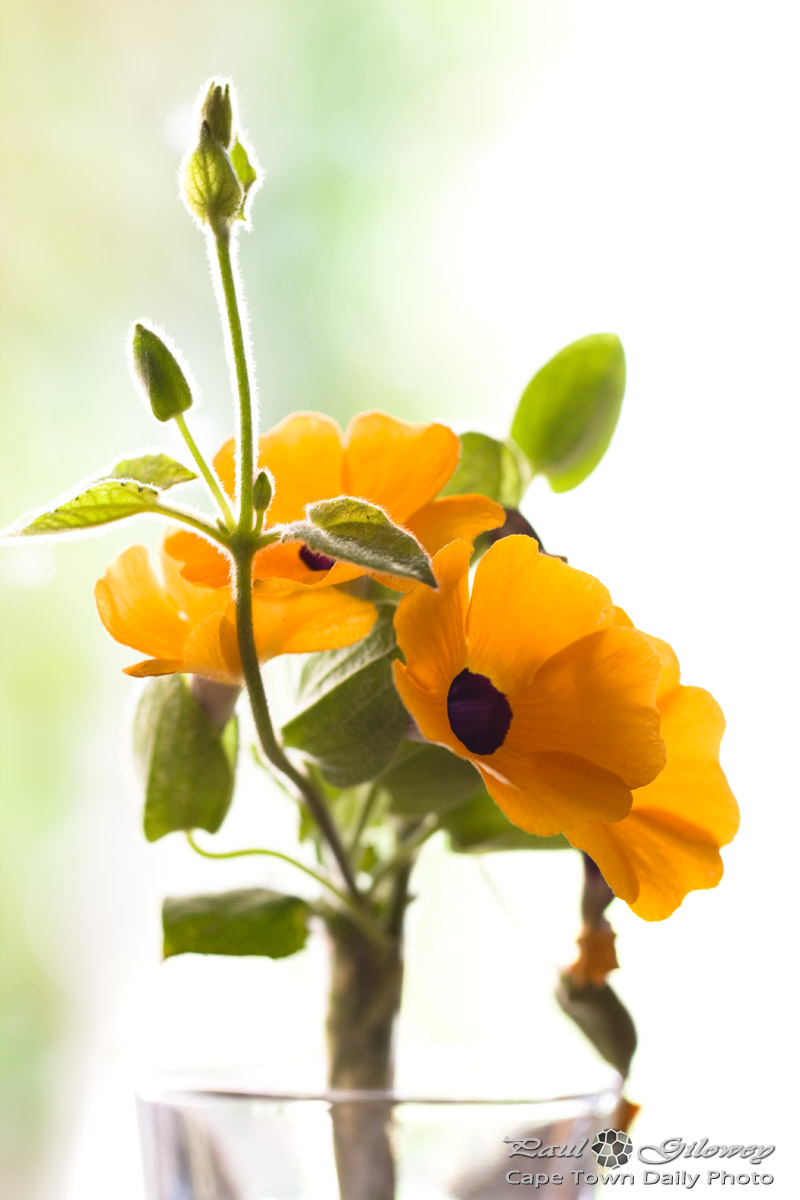 Thunbergia alata (the Black-eyed Susan vine)