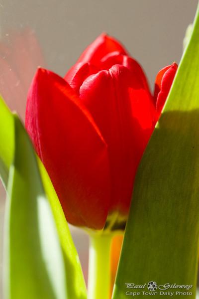 A little bit of tulip