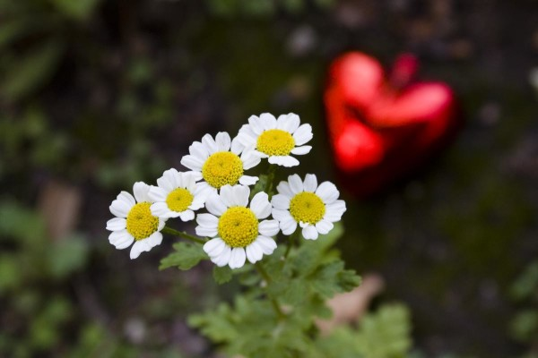 White petals, red hearts