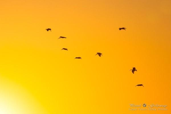 Ibis in golden flight