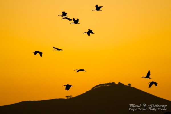 Ibis over Tygerberg Hill