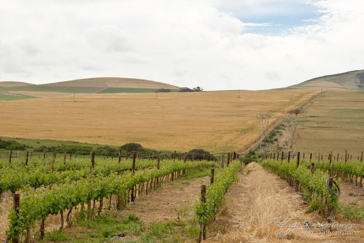 Durbanville's vineyards