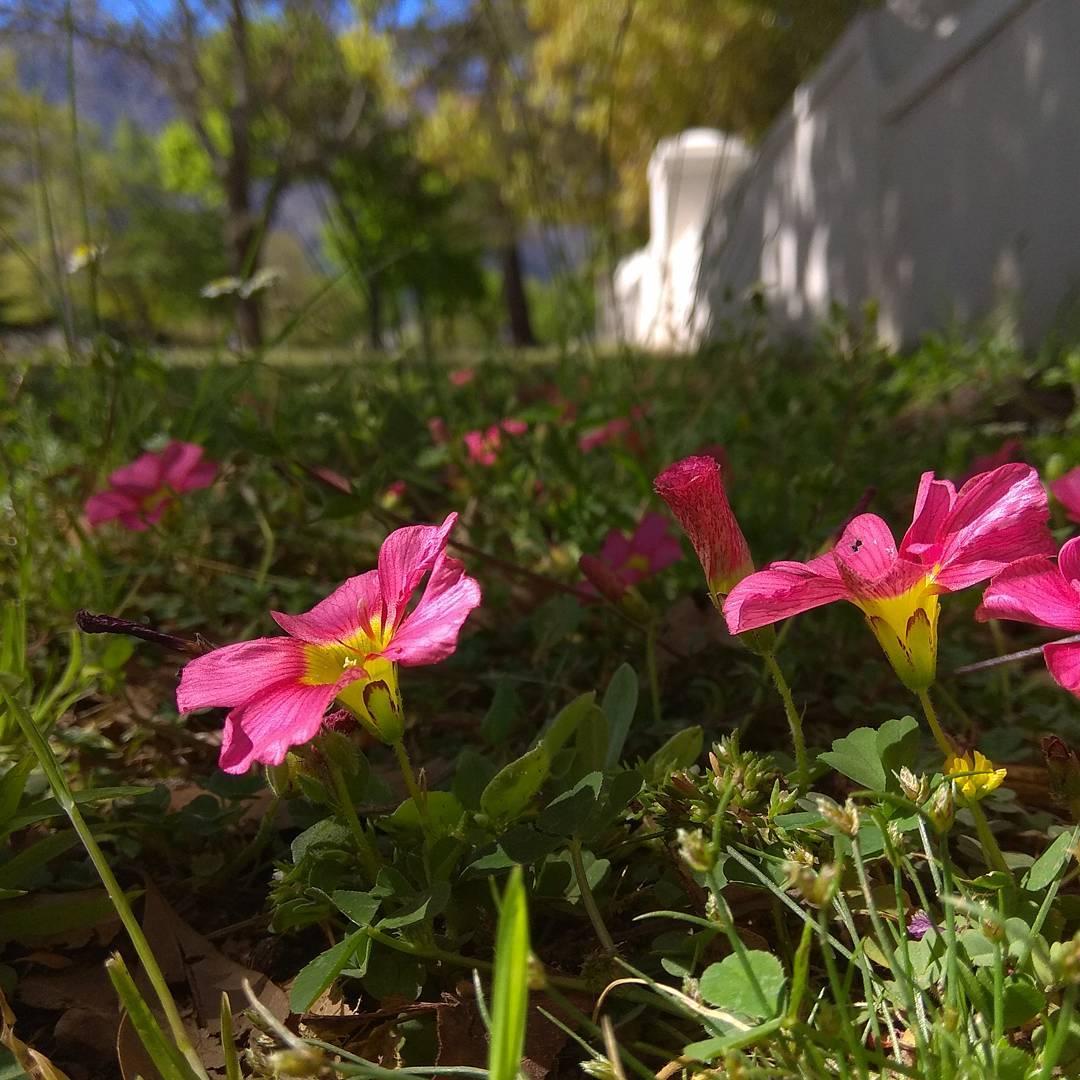 Flowering oxalis